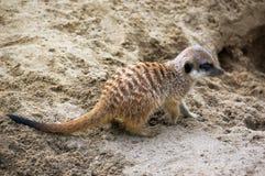 在树桩神色的Meerkat逗留勘测和监视 免版税库存照片