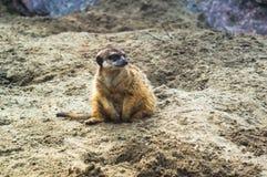 在树桩神色的Meerkat逗留勘测和监视 图库摄影