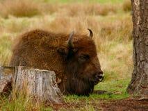 在树桩附近的睡觉北美野牛 免版税库存图片