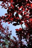在树梢中的看法与红色叶子 图库摄影