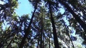 在树梢的风 射击静态照相机的冷杉木森林 股票录像