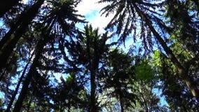 在树梢的风 射击静态照相机的冷杉木森林 影视素材