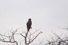 在树梢的黑有胸腔的蛇老鹰 库存照片
