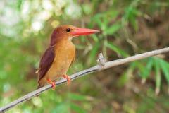 在树棍子的红润翠鸟鸟立场 免版税库存图片