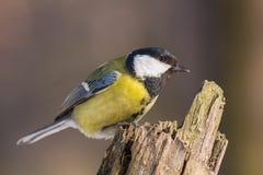在树残余部分栖息的伟大的山雀 免版税库存照片