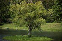 在树海岛上的完善的树摇摆 图库摄影