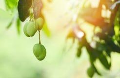 在树热带水果新鲜的绿色芒果的年轻芒果与阳光在庭院里 免版税库存图片