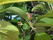 在树照片的小苹果 库存图片