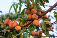 在树特写镜头视图的成熟桃子 库存照片