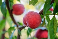 在树特写镜头视图的成熟桃子 图库摄影