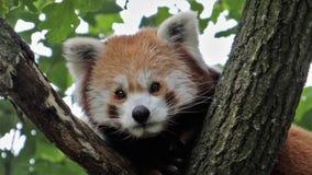 在树画象的红熊猫 免版税库存照片