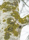 在树白杨树的吠声的绿色青苔 库存图片