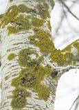 在树白杨树的吠声的绿色青苔 免版税库存图片