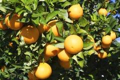 在树的Оranges 免版税库存图片