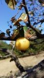 在树的一个小,狂放,成熟黄色苹果 免版税图库摄影