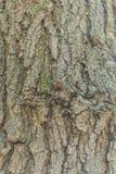 在树的一个瓢虫 与交通事故多发地段的瓢虫在翼 免版税库存照片