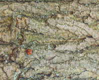 在树的一个瓢虫 与交通事故多发地段的瓢虫在翼 免版税库存图片