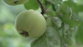 在树的一个绿色苹果 r 影视素材
