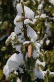 在树的一个锥体 免版税库存照片
