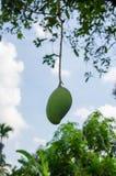 在树的一个绿色芒果 免版税库存图片