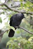 在树的一只乌鸦 免版税库存照片