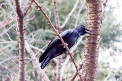 在树的一只乌鸦 图库摄影