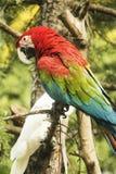 在树的一只彩虹金刚鹦鹉 免版税库存照片