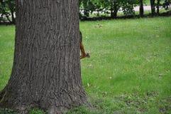 在树的一只灰鼠 库存照片