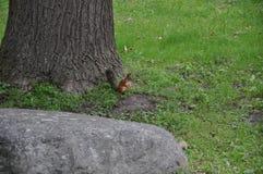 在树的一只灰鼠 库存图片