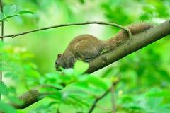 在树的一只灰鼠 图库摄影