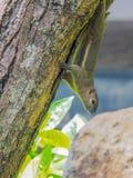 在树的一只灰鼠 免版税库存图片
