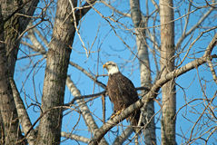 在树的一只白头鹰 免版税库存照片