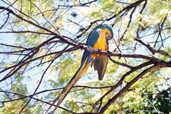 在树的一只蓝色和黄色金刚鹦鹉 库存图片