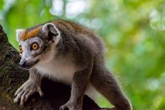 在树的一只被加冠的狐猴 免版税库存图片
