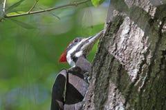 在树的一只Pileated啄木鸟 图库摄影