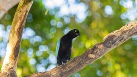 在树的一呈虹彩明亮的蓝色圣布拉斯杰伊Cyanocorax sanblasianus在墨西哥 库存照片