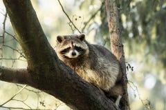 在树的一头浣熊 免版税库存图片