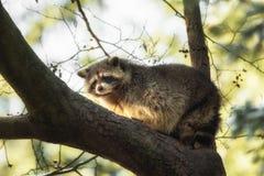 在树的一头浣熊 图库摄影