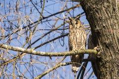 在树的一头猫头鹰 库存照片