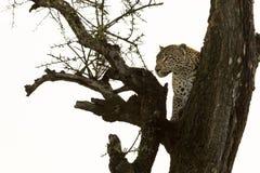在树的一头豹子 免版税图库摄影