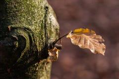 在树的一片棕色叶子 库存照片