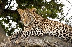 在树的一头壮观的母豹子 库存照片