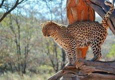 在树的一头豹子 库存照片