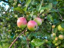 在树的三个苹果 免版税库存照片
