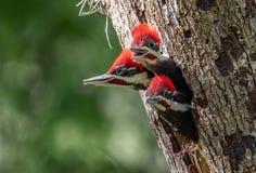 在树的三只婴孩Pileated啄木鸟 库存照片