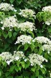 在树的上升的八仙花属 免版税图库摄影