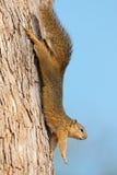 在树的上树灰鼠 免版税图库摄影