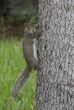 在树的东部灰色灰鼠 库存照片