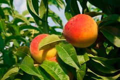 在树的两个成熟桃子 免版税库存照片