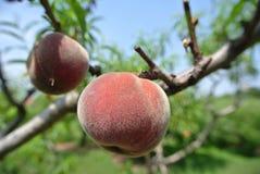 在树的两个成熟红色桃子在一个果树园在一个晴天 图库摄影